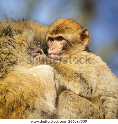 Portrait of a baby monkey holding on to his mother, Netherlands - stock photo