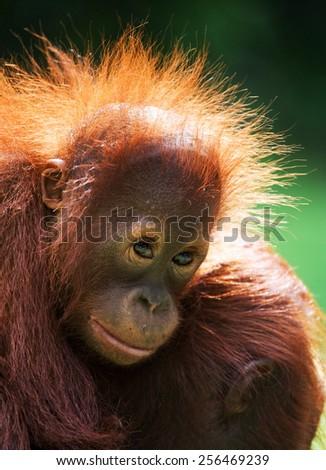Portrait of a baby orangutan. Indonesia. Borneo. - stock photo