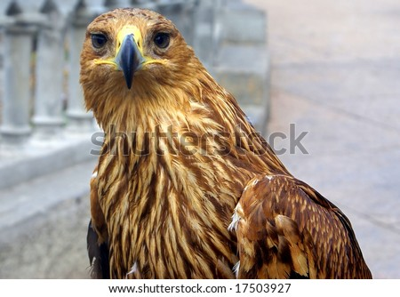 Portrait of a bald eagle against a neutral background - stock photo