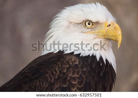 Symbol America Bald Eagle Sits Front Stock Photo 615767051