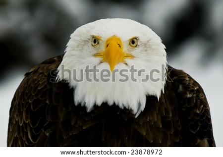 Portrait of a Bald Eagle (Haliaeetus leucocephalus). - stock photo