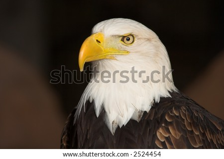 Portrait of a Bald Eagle (Haliaeetus leucocephalus).