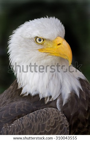 Portrait of a Bald Eagle, Haliaeetus leucocephalus