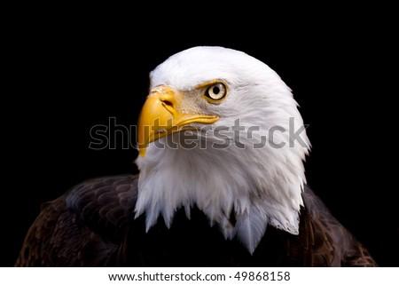 Portrait of a Bald Eagle (Haliaeetus leucocephalus) on a black background. - stock photo