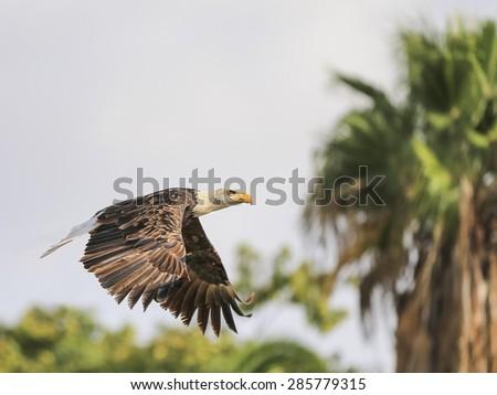 Portrait of a bald eagle in flight (lat. haliaeetus leucocephalus)Selective focus. - stock photo