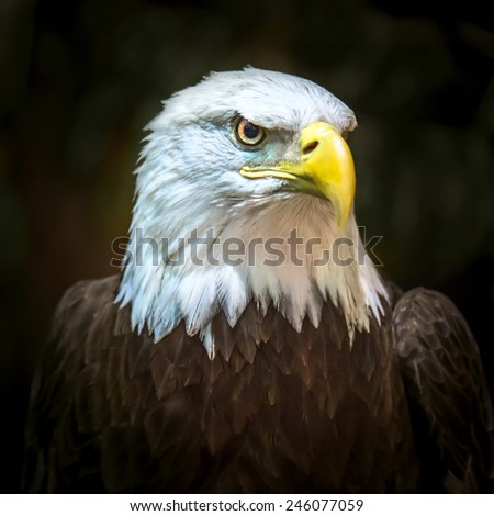 Portrait of a bald eagle (lat. haliaeetus leucocephalus) - stock photo