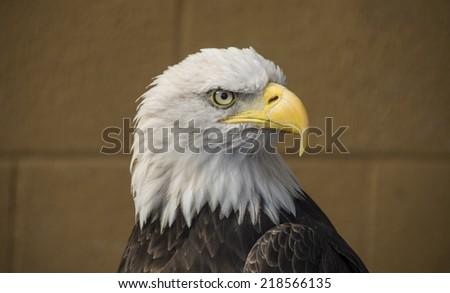 Portrait of a bald eagle (latin name:. haliaeetus leucocephalus) - stock photo