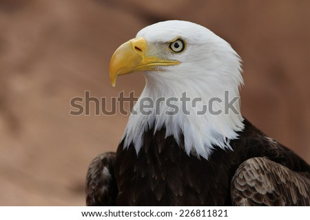Portrait of a bald eagle. USA symbol. - stock photo