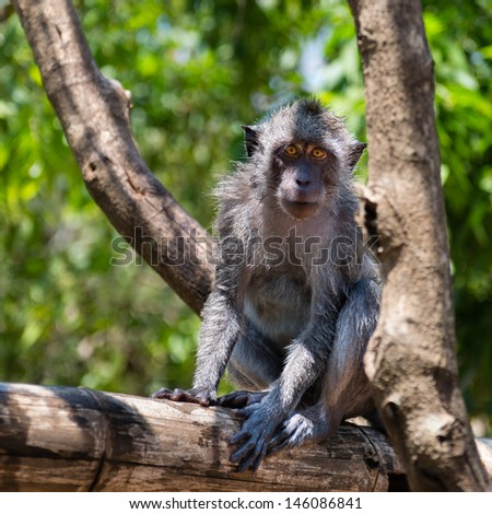 Portrait of a Balinese wild monkey sitting on a tree branch  - stock photo