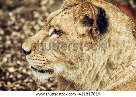 Portrait of a Barbary lion - Panthera leo leo. Animal portrait. Lioness closeup. Atlas lion. Critically endangered species. Side view. - stock photo