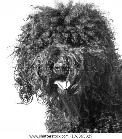 portrait of a barbet dog on white background - stock photo