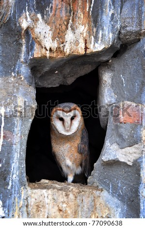 Portrait of a barn owl in the zoo - stock photo
