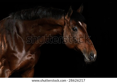 Portrait of a bay horse on a black background - stock photo