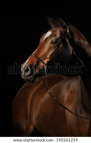 Portrait of a bay horse on the black background - stock photo