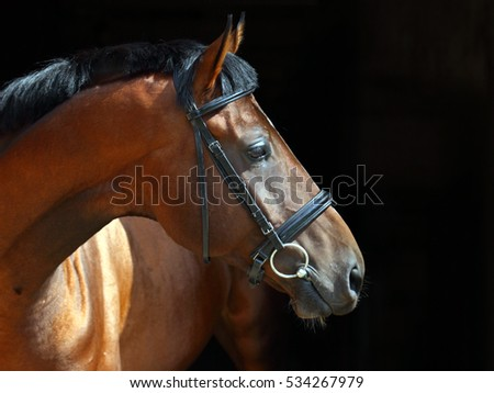 Portrait of a bay sport dressage horse