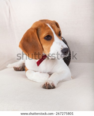 Portrait of a beagle dog sitting on the sofa.