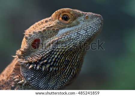 Portrait of a Bearded Dragon (Pogona vitticeps)