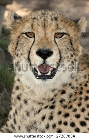 Portrait of a beautiful African cheetah wild cat - stock photo
