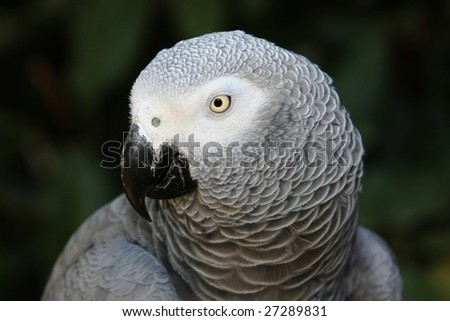 Portrait of a beautiful African grey parrot - stock photo