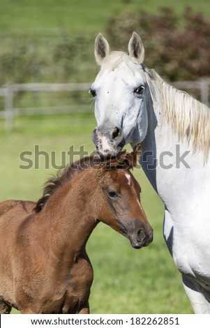Portrait of a beautiful arabian horse foal with mother - stock photo