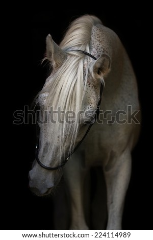Portrait of a beautiful Arabian stallion on the black background. - stock photo