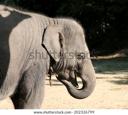 portrait of a beautiful baby elephant in the jungle  - stock photo
