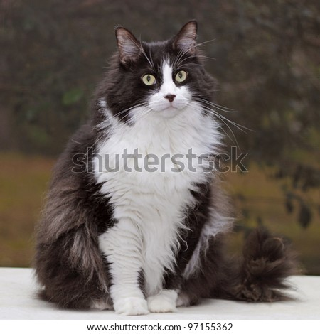 Portrait of a beautiful black and white cat - stock photo