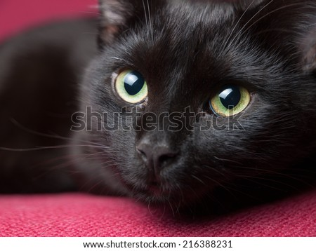 Portrait of a beautiful black cat at home. - stock photo