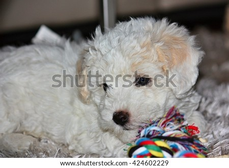 Portrait of a beautiful bolognese puppy, 7 weeks old - stock photo