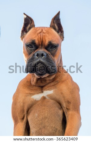 Portrait of a beautiful boxer dog breed over a light blue sky.
