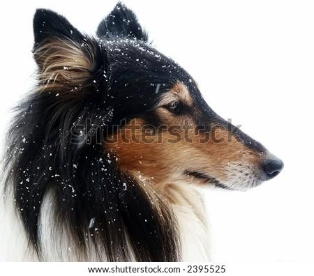 Portrait of a beautiful british tri-color collie - stock photo