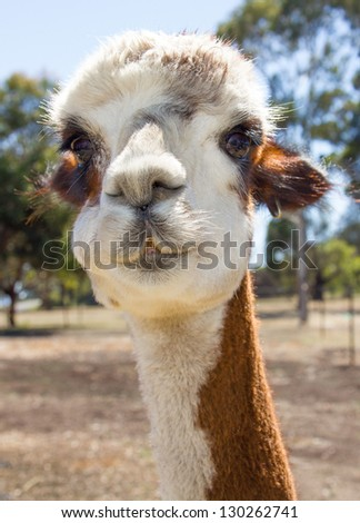 Portrait of a beautiful brown and white alpaca - stock photo