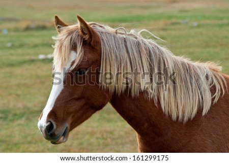 Portrait of a beautiful brown horse with white mane  - stock photo