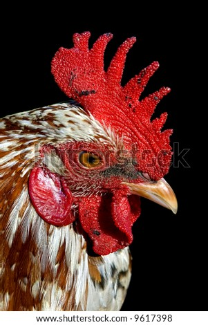 Portrait of a beautiful cock. - stock photo