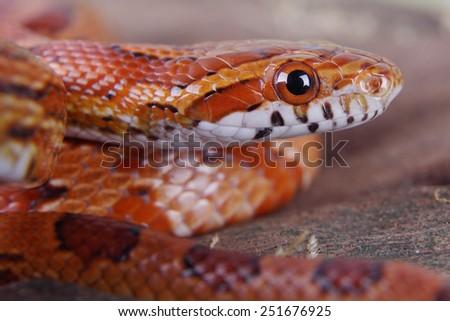 portrait of a beautiful corn snake - stock photo