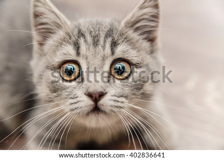 Portrait of a Beautiful Cute Small  Grey British Kitten with a Touching Look,Animal,Nature,Pet