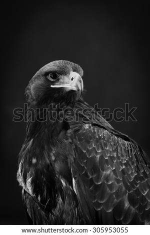 Portrait of a beautiful eagle, crossing of steppe and golden, looking sharply into the lens of the camera - stock photo