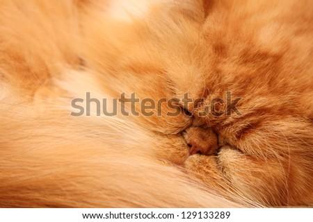 portrait of a beautiful fluffy cat closeup - stock photo