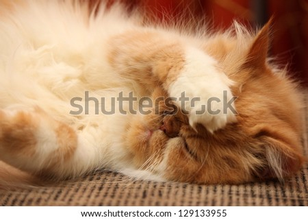 portrait of a beautiful fluffy cat closeup - stock photo