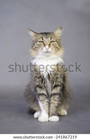 portrait of a beautiful fluffy cute cat