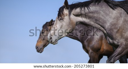 Portrait of a beautiful gray horse in motion on the background of blue sky and the other horse - stock photo