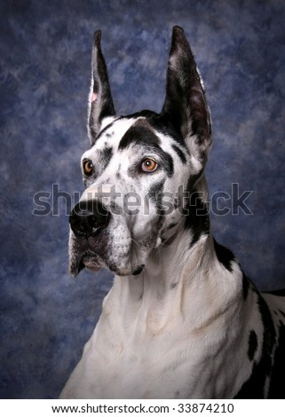 Portrait of a beautiful Harlequin Great Dane - stock photo