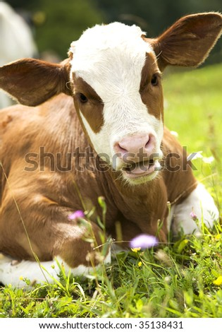 Portrait of a beautiful heifer (young cow) on the grass. Green nature in background. - stock photo