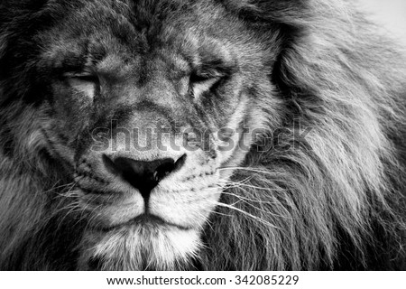 portrait of a beautiful lion in black and white - stock photo