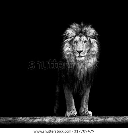 Portrait of a Beautiful lion, lion in the dark, lion on black background - stock photo