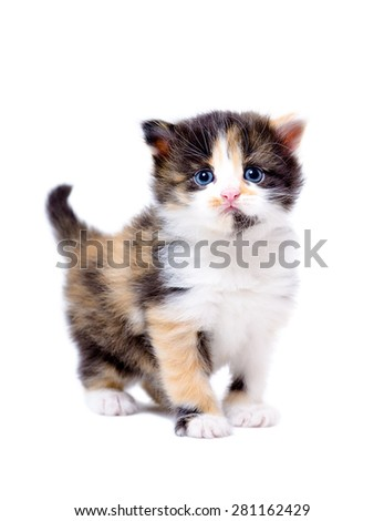 Portrait of a beautiful little tricolor kitten standing isolated on white background - stock photo