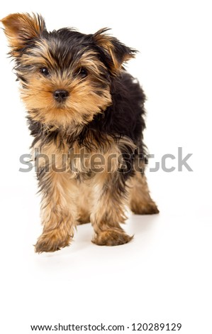 portrait of a beautiful little yorkshire terrier