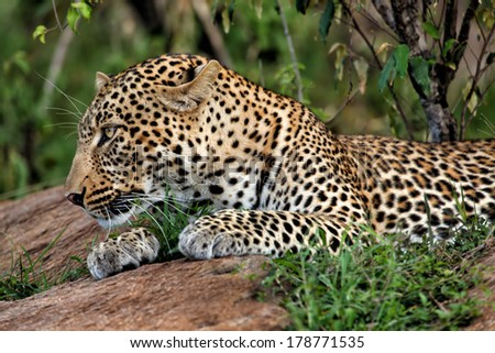 Portrait of a beautiful male Leopard on the rocks in Masai Mara, Kenya  - stock photo