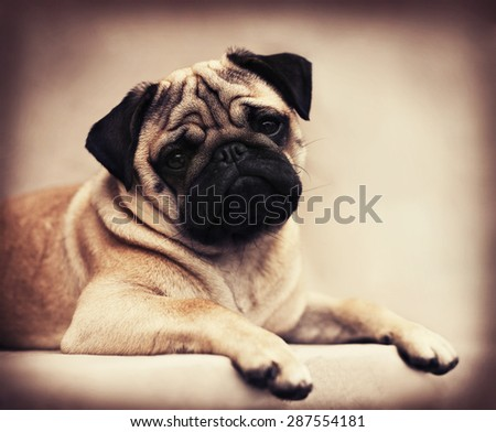 Portrait of a Beautiful male Pug puppy laying down - stock photo
