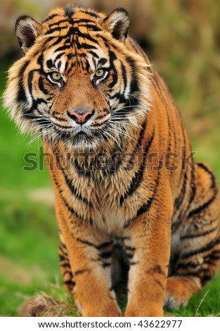 Portrait of a beautiful male Sumatran tiger in a reserve of endangered species - stock photo